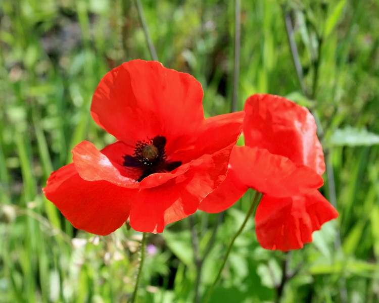 IMG_1004poppies