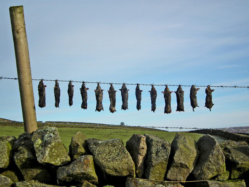 Dead moles on a line.  Middleton Moors Co. Durham