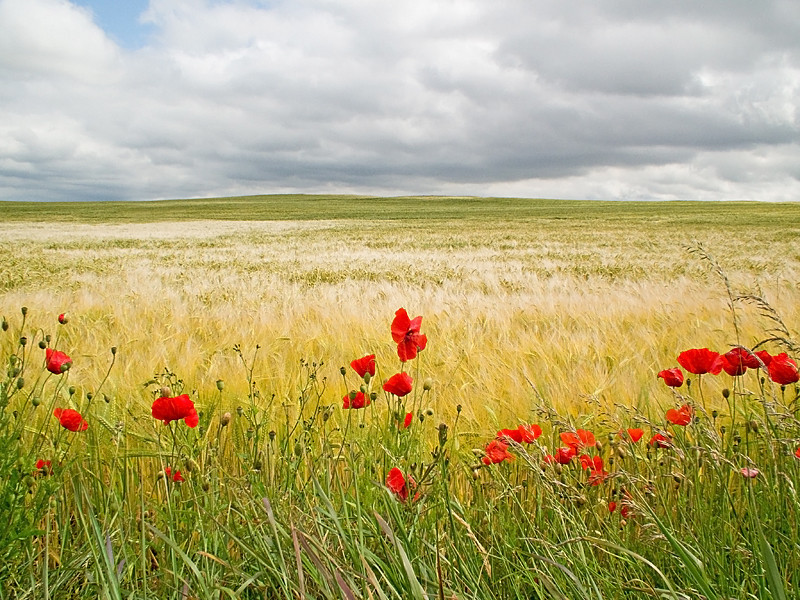 Barley and poppies in Yorkshire