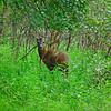 Bambi playing hide and seek in Slit Woods, Westgate, Weardale, Durham
