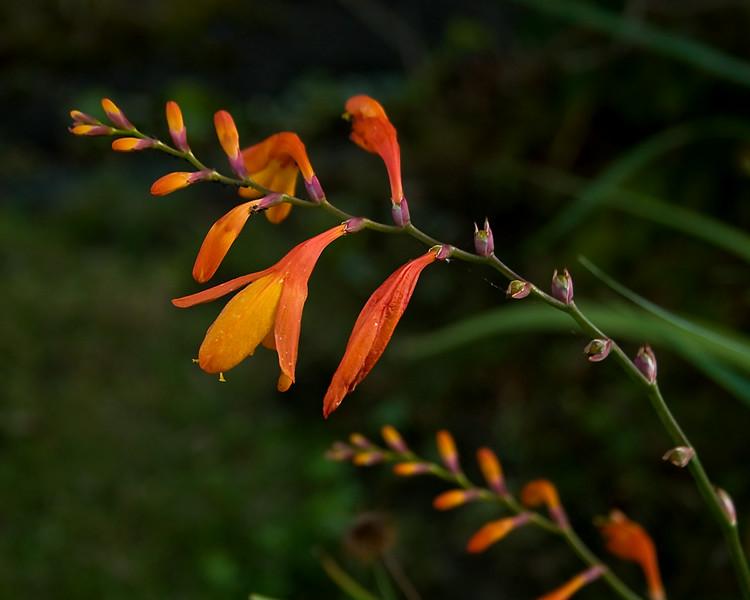 _MG_6568orange flower 2