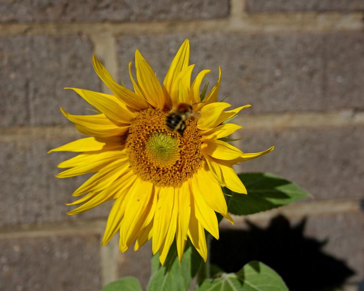 Sunflower in my back garden