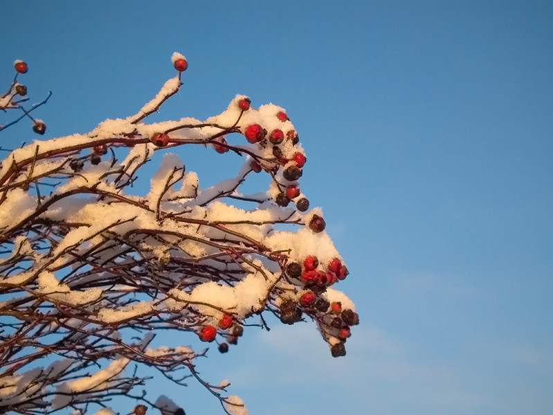 Rosehips covered in snow