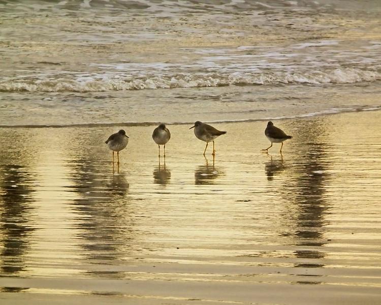 Oystercatchers at Hartlepool Headland, Steetley Beach