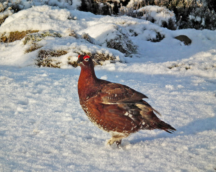 A grouse next to the road above Stanhope, Weardale.