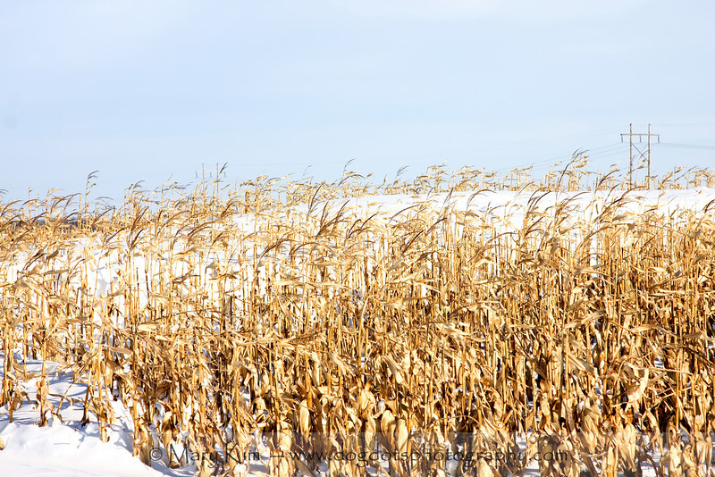 Winter Corn