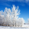 Frosted Trees