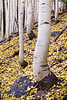 Curved Aspens