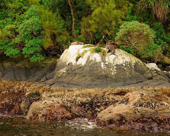 NZ Sealions, Doubtful Sound