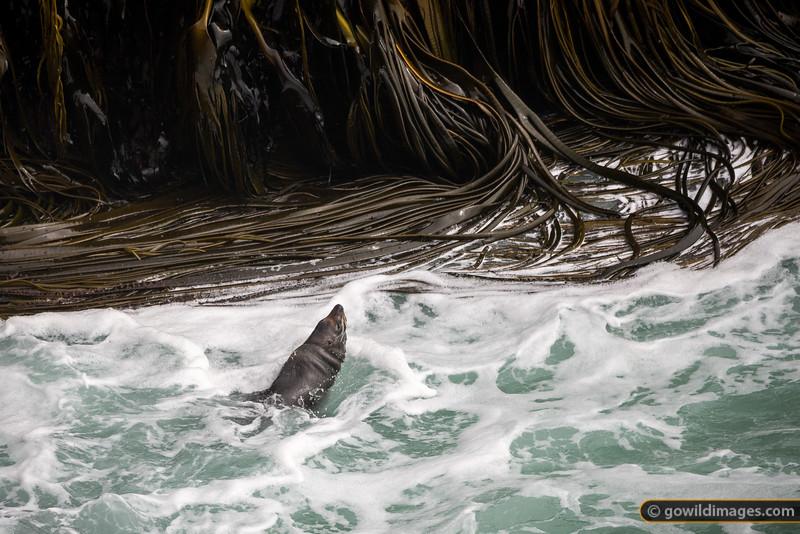 New Zealand Fur Seal Swimming