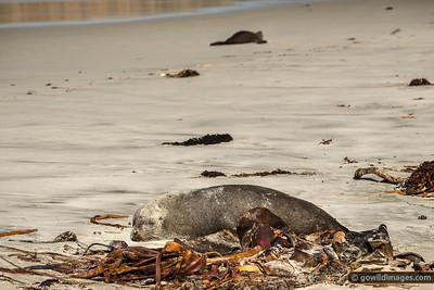 New Zealand Fur Seal Sleeping