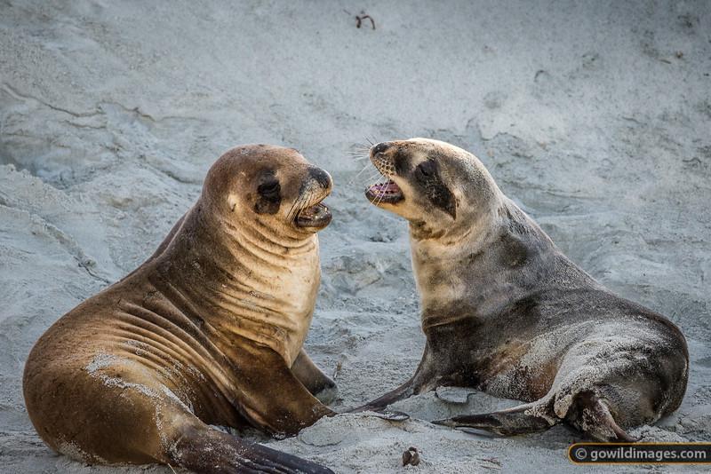 New Zealand Sea Lions 4