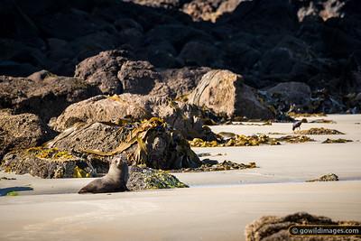 New Zealand Fur Seal Environment
