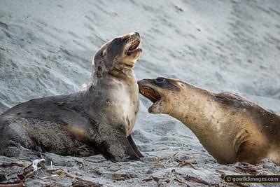 New Zealand Sea Lions 1