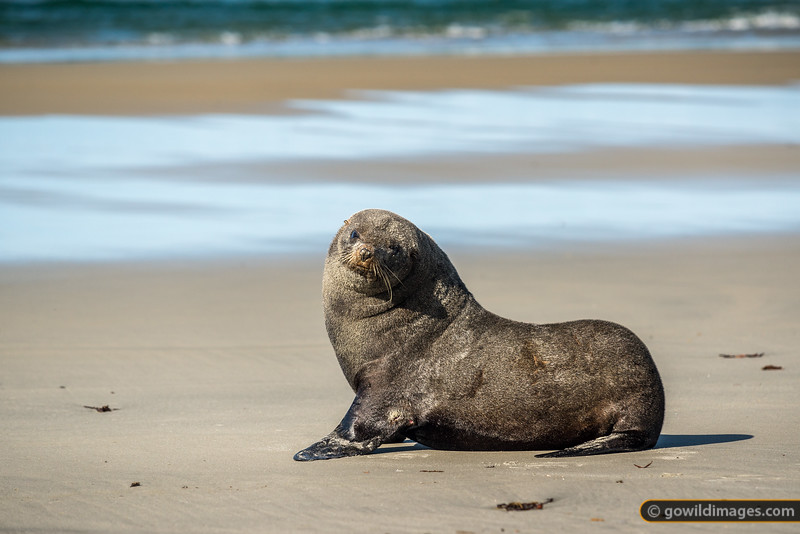 New Zealand Fur Seal Stare