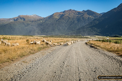 Woolly Traffic