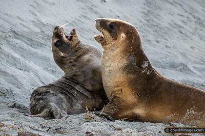 New Zealand Sea Lions 2