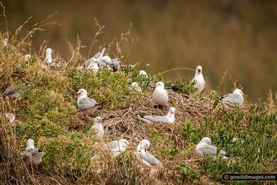 Gull Nesting