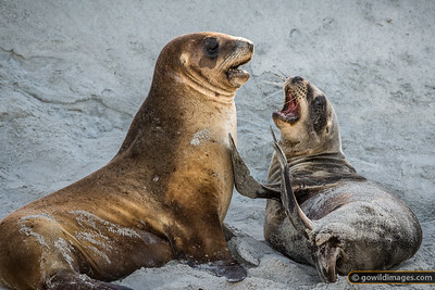 New Zealand Sea Lions 3