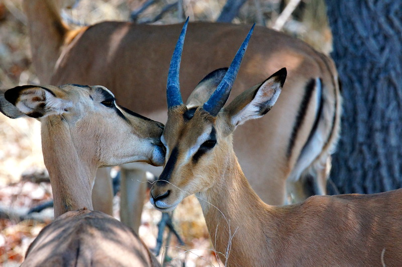 Black-faced impalas