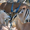 Black-faced impalas