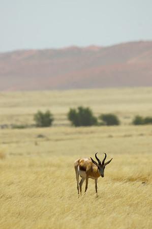 Springbok (Antidorcas marsupilis)