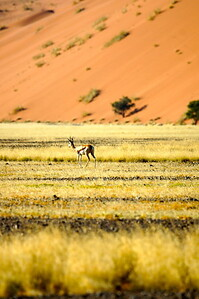 Springbok at Sossusvlei