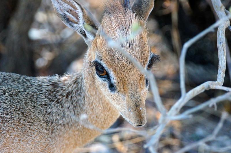 Dik Dik ( Madoqua kirki), the smallest antelope, about the size of a house cat.