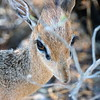 Dik Dik ( Madoqua kirki), the smallest antelope, about the size of a house cat.