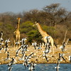 Gulls and giraffes