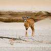Oryx Calf