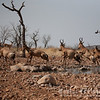 Startled Hartebeest
