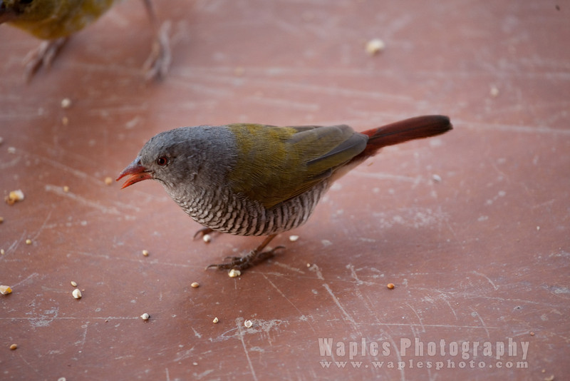 Green-winged Pytilia (Melba Finch)