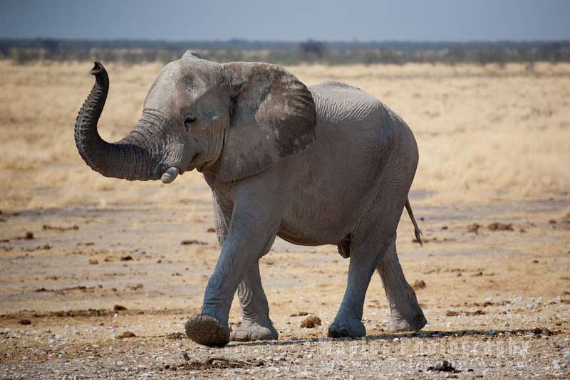 Elephant Smelling the Air
