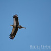 Secretary Bird in Flight