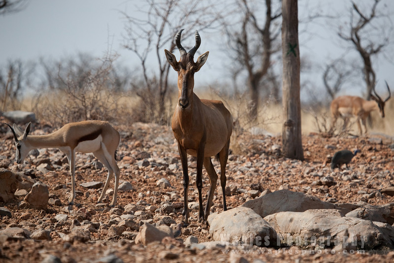 Hartebeest antelope