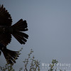 Grey Go-Away Bird (Lourie)