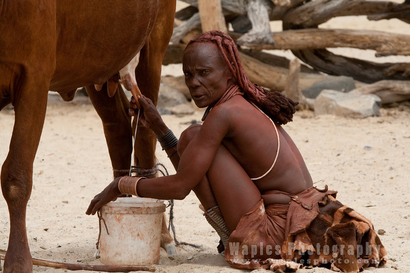 Himba Villager milking a cow