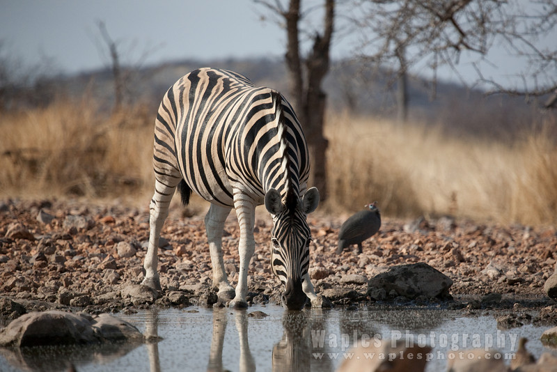 Viewing Zebra at Blind