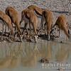 Springbok at Waterhole