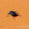 "Species of Darkling Beetles ""Stink Bug"""
