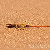 Red-tailed Sand Lizard