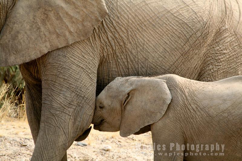Elephant calf nursing