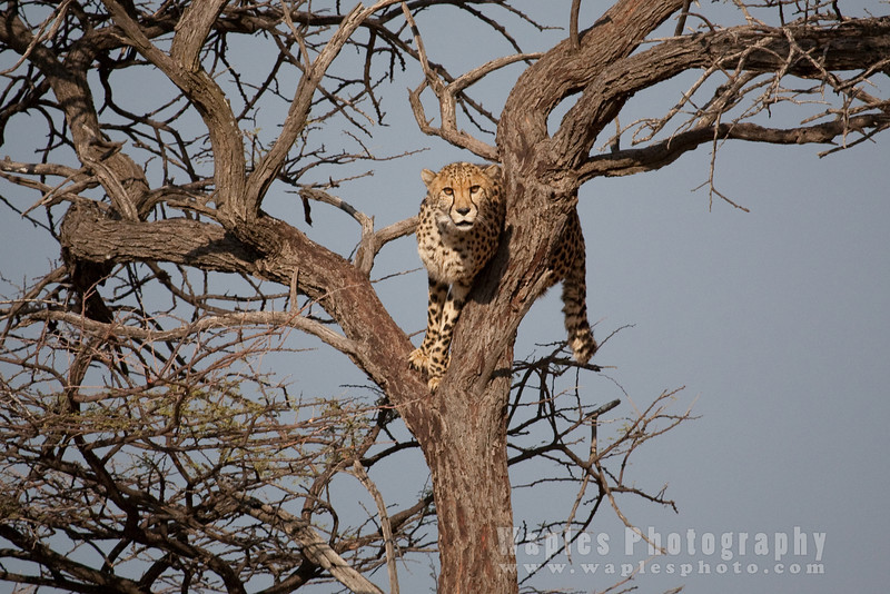 Cheetah stuck in a tree?