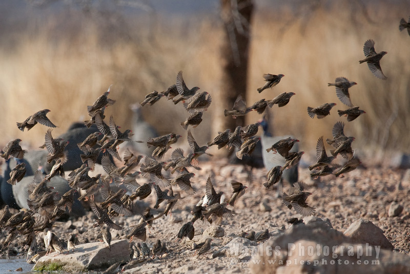 Incoming Red-billed Quelea