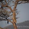 Cheetah descending tree