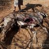 Oryx killed by hyena