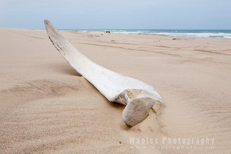 Whale Rib