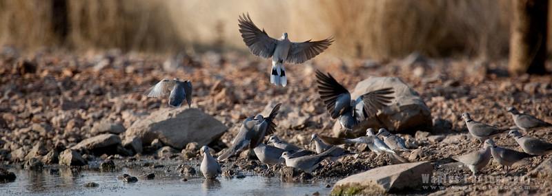 Cape Turtle Doves at Waterhole