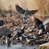 Cape Turtle Doves at Waterhole